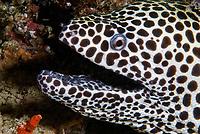 Honeycomb moray eel, Gymnothorax favagineus, Ari Atoll, Maldives, Indian Ocean