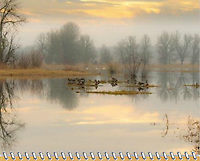 """November of the 2012 Birds of a Feather Calendar.  The photo is called """"Lazy afternoon in the refuge. and shows reflections of the bare trees and cloudy, colored sky is seen in the mirror surface of a lake with Canada Geese and Trumpeter Swans resting in Winter in the Ridgefield National Wildlife Refuge."""