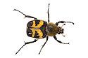 Bee beetle {Trichius fasciatus} photographed in mobile field studio on a white background. Nordtirol, Austrian Alps, Austria, July.