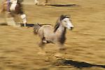 A wild horse escapes the loops of cowboys during the BIg Loop Roping, Jordan Valley Big Loop Rodeo,