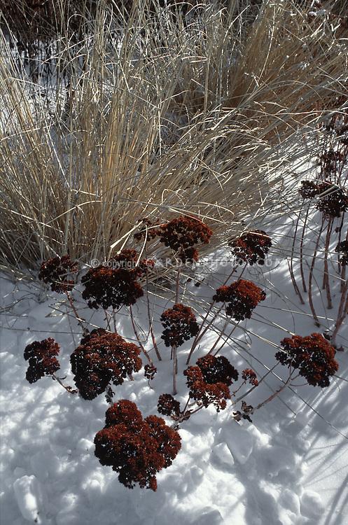 Sedum 'Autumn Joy' aka 'Herbstfreude' in winter seed-heads with ornamental grass in snow