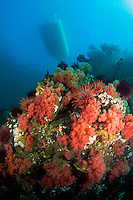 Dive boat floats above Pink Soft Corals (Gersemia rubiformis) underwater in Browning Pass, Queen Charlotte Strait, British Columbia, Canada.