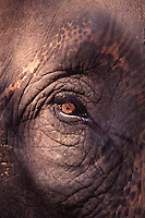 Asian Elephant Elephas maximus. Close-up of the eye. Nepal Chitwan National Park.