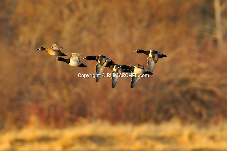 00305-030.08 Ring-necked Duck flock in flight with trees in background.  Fly, action, hunt, waterfowl, ringbill, courtship.