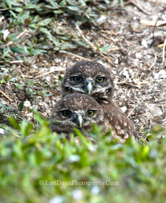 Two burrowing owlets looking