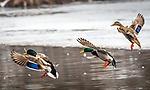 Mallard ducks in flight.