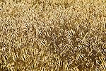 Close-up of wheat near Solvang, California