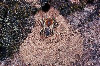 Große Harzbiene, am Eingang zum Nest, Trachusa byssina, Anthidium byssinum