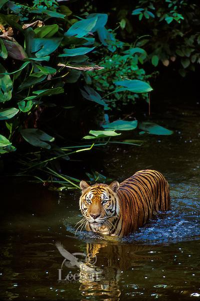 Sumatran Tiger (Panthera tigris), Indonesia, wading in tropical rainforest stream.
