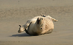 Seals limber up in yoga and stretch poses by Brigitte Storms