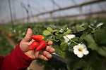 A Palestinian man from Gaza picking strawberries on april 10, 2017. Photo by Osama Baba