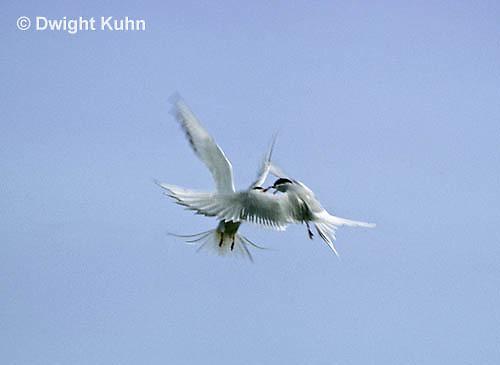 MC76-004z  Arctic Tern - fighting - Machias Seal Island, Bay of Fundy - Sterna paradisaea
