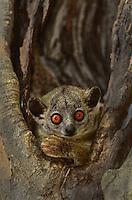 White-footed sportive lemur (Lepilemur leucopus) Madagascar.