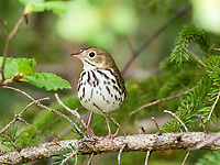 ovenbird, Seiurus aurocapilla, warbler, perched on evergreen, Nova Scotia, Canada