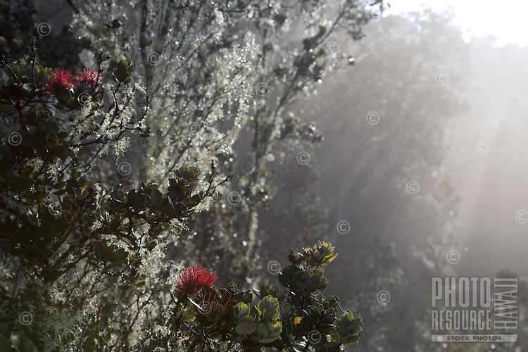 Ohia lehua in morning mist