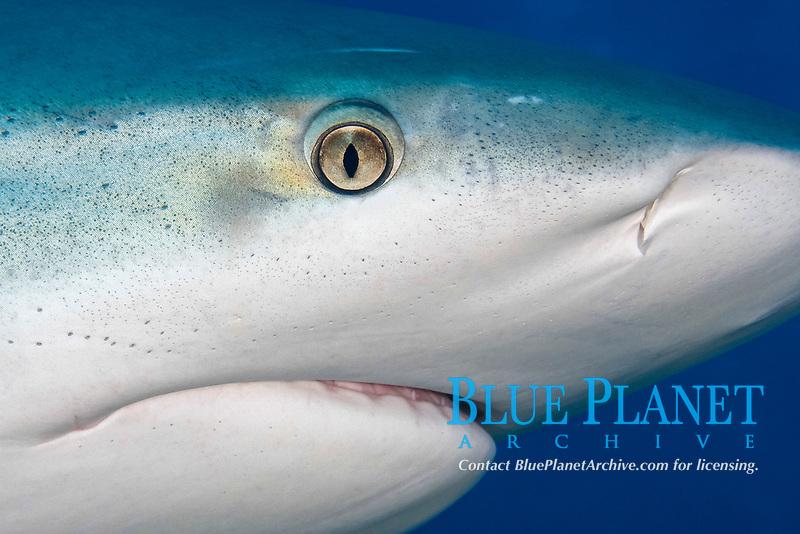 Caribbean reef shark, Carcharhinus pereziii, close up of head, Bahamas Bank, Bahamas, Atlantic.