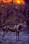 African wild dog (Lycaon pictus), Kwando Reserve, Botswana, endangered