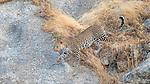 India, Rajasthan, Indian leopard (Panthera pardus fusca)