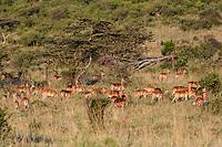 Tanzania. Serengeti. Herd of Female Impalas Alert for Danger.