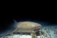 nurse shark, Ginglymostoma cirratum, on sandy bottom, Bimini, Bahamas, Caribbean Sea, Atlantic