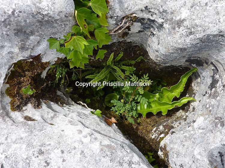 County Clare, Republic of Ireland - July 17, 2010:  Plants grow in a crevice in the Burren.