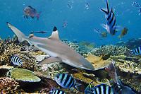 Blacktip Reef Shark, Carcharhinus melanopterus, comes in for food at shark feed at Shark Reef, Beqa Lagoon, Fiji, South Pacific Ocean