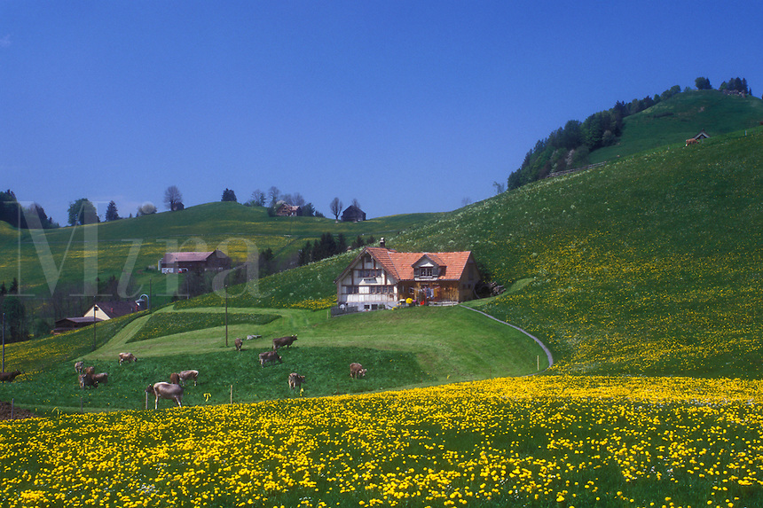 AJ1679, Switzerland, Appenzell, Europe, Scenic view of Swiss Brown cows grazing on the hilly grasslands filled with dandelions on the lush farmland in the Canton of Appenzell in the spring.