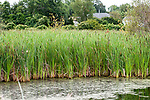 Broad-leaved cattail wide shot on ponds edge