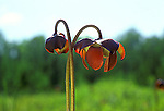 Bloom of Pitcher plant Sarracenia purpurea insectivorious insect eating bog plant