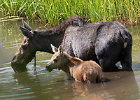 Cow moose and calf. At first the cow was feeding alone, then the calf which had been hiding in the grass appeared and began nursing.