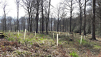 Europe, Germany, Ruhr Area, Ardey, Wetter, Herdecke, ehemaliger Buchenwald, Wiederaufforstung mit Eiche<br /> <br /> Europa, Deutschland, Ruhrgebiet, Ardey, Wetter, Herdecke, past beech forest, reforestation with oak trees<br /> <br /> [MODEL RELEASE: NO, Copyright: Vera Schimetzek, Bornstrasse 5, 58300 Wetter, Germany, phone: 0049.2335.970650, mobil: 0049.151.21220918, www.schimetzek-foto.de, schimetzek@web.de,<br /> Die Verwendung des Fotos ist honorarpflichtig. Keine Verwendung ohne Genehmigung.  Es gelten die AGB.<br /> For use the general terms and conditions are mandatory. No use without permission. The use of the image is subject to a fee.]