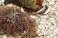 TANZANIA, Zanzibar, due to climate change and rising water temperatures seaweed farmer have shifted to plant red algae farming in deep water, drying algae in sun, woman foot with henna painting
