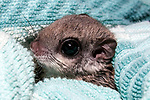 10-12 week old southern flying squirrel wrapped in blanket at the New England Wildlife Center in Barnstabe, Massachusetts.  Head and neck only, close-up.