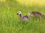 Canada goose  - gosling feeding in a northern Wisconsin field.