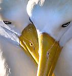 Galapagos Islands, Ecuador , waved albatross (Phoebastria irrorata)
