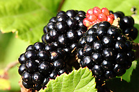 Here, a few blackberries in foreground, in the light of a sunny summer day. There is a red one that is still unripe. The photo has been taken on the Monte Appiolo, in the Monti Aurunci Natural Park, near Lenola.