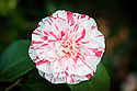 Red-, white- and pink-striped double Camellia japonica 'Lavinia Maggi' (syn. Contessa Lavinia Maggi'), late March.