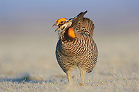 Male Greater Prairie-Chicken (Tympanachus cupido) vocalizing on a lek. Ft. Pierre National Grassland, South Dakota. April.
