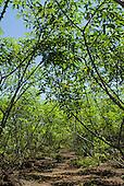 Xingu Indigenous Park, Mato Grosso State, Brazil. Aldeia Waura. Mature plantation of manioc (cassava).