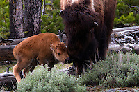 Bison (bison bison) babies or calves are born through out the spring and summer seasons, but most generally in early May.