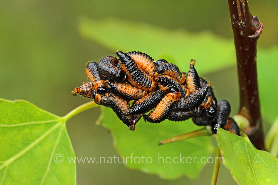 Pappelblatt-Käfer, Roter Pappelblattkäfer, Larve, Larven, Käferlarve, Chrysomela populi, Melasoma populi, Red poplar leaf-beetle, poplar leaf beetle, poplar beetle, larva, larvae