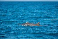 common bottlenose dolphin, Tursiops truncatus, with damaged dorsal fin, rake marks, Port Douglas, Far North Queensland, Tropical North Queensland, Queensland, Australia