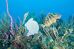 Gardens of the Queen, Cuba; a Nassau Grouper (Epinephelus striatus) fish swimming over the colorful coral reef