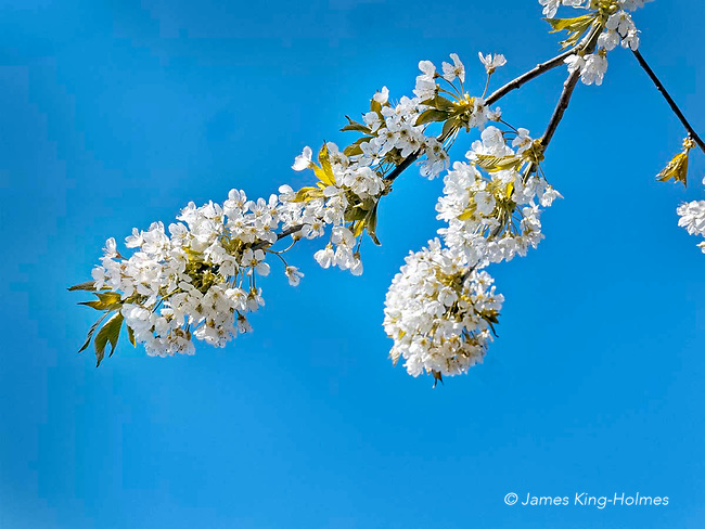 Blossoming branch of a bird-cherry, or hackberry, tree in digging Lane, Fyfield, Oxfordshire, UK.
