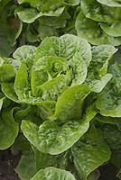 Closeup of Lettuce Little Gem vegetable