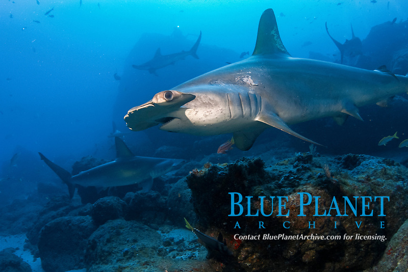 scalloped hammerhead shark, Sphyrna lewini, endangered species, pair swimming near ocean floor, Cocos Island National Park, Costa Rica, Pacific Ocean