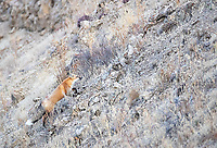 I had a number of red fox encounters during my October trips.