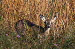 Whitetail Deer Fawn in tall grass in September, Doe was 25 feet away at edge of forest