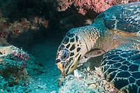 Eating Hawksbill Turtle, Eretmochelys imbricata, Fishhead, North Ari Atoll, Maldives