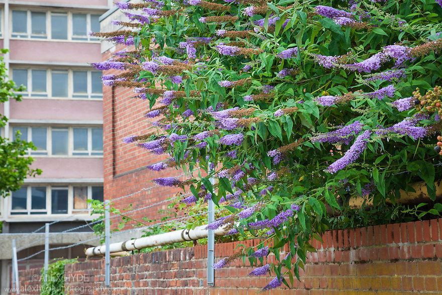 Buddleia (Buddleia davidii) growing in urban setting. This plant is an invasive species in the UK. Portsmouth, UK. July.